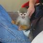 Женский Marmoset обезьяна в продаже
